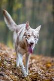 Saarloos Wolfdog Photo stock