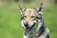 Saarloos Wolfdog Stockfoto