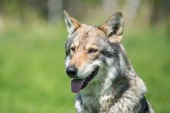 Saarloos Wolfdog Lizenzfreie Stockbilder