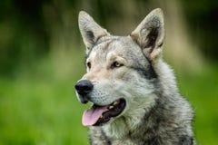 Saarloos Wolfdog Lizenzfreie Stockfotografie