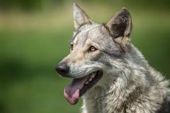 Saarloos Wolfdog Stockfotografie