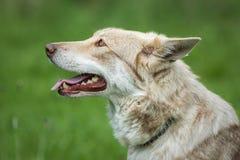 Saarloos Wolfdog Photographie stock libre de droits