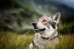 Saarloos Wolfdog Stockbild