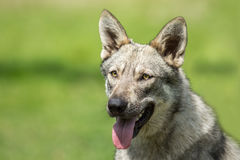 Saarloos Wolfdog Photos libres de droits