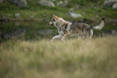 Saarloos Wolfdog Photo libre de droits