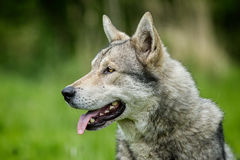 Saarloos Wolfdog Lizenzfreies Stockfoto