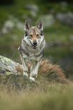 Saarloos Wolfdog Image libre de droits