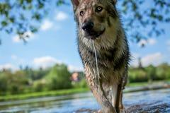 Saarloos Wolfdog Image stock