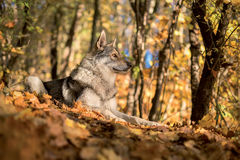Saarloos Wolfdog Stockfotos