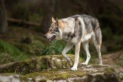 Saarloos Wolfdog auf dem Flussstein Stockfotos
