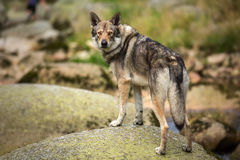 Saarloos Wolfdog auf dem Flussstein Lizenzfreies Stockfoto