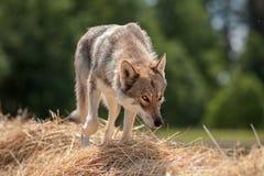Saarloos Wolfdog auf Stroh Lizenzfreies Stockfoto