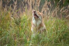Saarloos Wolfdog im Regen Stockbilder