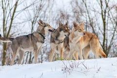 Saarloos Wolfdog pack Stock Image