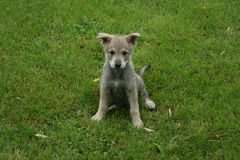 Saarloos wolfdog puppy Royalty Free Stock Photography