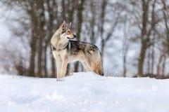 Saarloos Wolfdog Royalty Free Stock Images