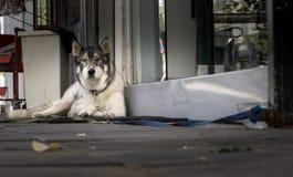 Saarloos Wolfdog on the street is waiting royalty free stock image