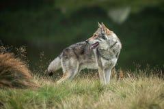 Saarloos Wolfdog Royalty Free Stock Image
