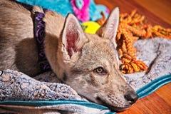 Saarloos Wolfdog valp Fotografering för Bildbyråer