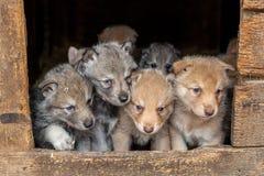 Saarloos Wolfdog valpar Arkivfoto
