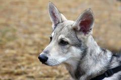 Saarloos wolfdog Welpe Stockfoto