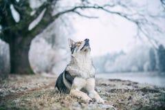 Saarloos Wolfdog Stock Images