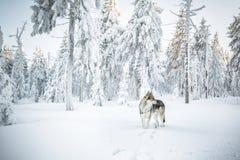 Saarloos Wolfdog Stock Photos
