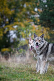 Saarloos Wolfdogs Image libre de droits