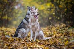 Saarloos Wolfdogs Stockbilder