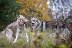 Saarloos Wolfdogs Image stock