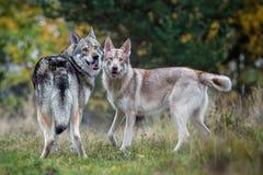 Saarloos Wolfdogs Lizenzfreies Stockfoto