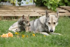 Saarloos Wolfhound with puppy