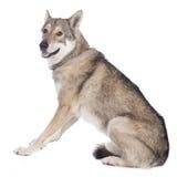 Saarloos wolfhound sitting Stock Image