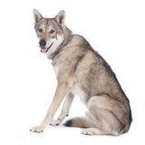 Saarloos wolfhound sitting Stock Photography