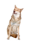 Saarlooswolfhond - saarloos wolf dog Royalty Free Stock Photo