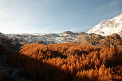 Saas fee forest autumn Royalty Free Stock Photos