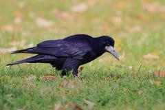 Saatkrähe (Corvus Frugilegus) Stockbild