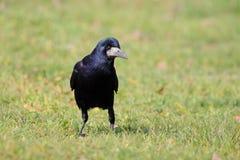 Saatkrähe (Corvus Frugilegus) Stockfoto