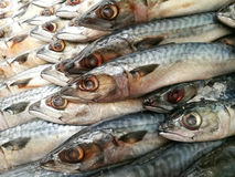 Saba鲭鱼鱼 免版税库存照片