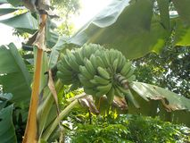 Saba Banana tree Royalty Free Stock Images