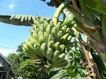 Saba d'arbre de Banan Images stock