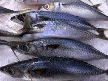 Saba Mackerel Fish frais congelé Photos stock