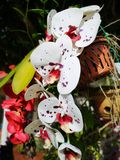 Sabah Orchid im Land unter dem Wind, Sabah Malaysa, Borneo lizenzfreie stockfotos