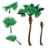Sabal drzewka palmowego zestaw Zdjęcie Stock