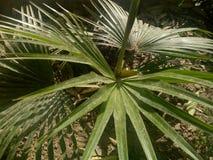 Sabal nieletni & x28; Karłowaty PalmettoPlants& x29; zdjęcia stock