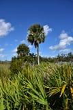 Sabal Palm Tree Royalty Free Stock Photos