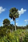 Sabal Palm Tree Stock Photos