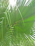 Palmetto & x28;Sabal palmetto& x29;. Sabal palmetto, also known as cabbage-palm, palmetto, cabbage palmetto, blue palmetto, Carolina palmetto, common palmetto Royalty Free Stock Images