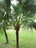 Palmetto & x28;Sabal palmetto& x29;. Sabal palmetto, also known as cabbage-palm, palmetto, cabbage palmetto, blue palmetto, Carolina palmetto, common palmetto royalty free stock photo