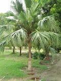 Palmetto ;Sabal palmetto. Sabal palmetto, also known as cabbage-palm, palmetto, cabbage palmetto, blue palmetto, Carolina palmetto, common palmetto, swamp stock photos